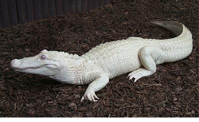 external image albino-alligator-b.jpg
