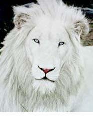 external image albino-lion-b.jpg