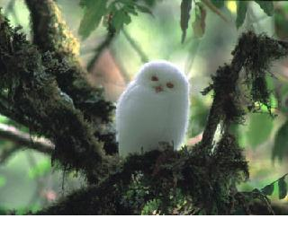 external image albino-owl-b.jpg