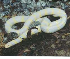 external image albino-snakeking-b.jpg