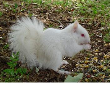 external image albino-squirrel-b.jpg