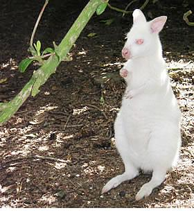 external image albino-wallaby-b.jpg
