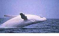 external image albino-whalehumpback-b.jpg