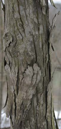 Shag Bark Maple http://grandpacliff.com/Trees/Bark&Cork.htm