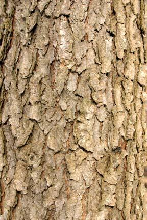 black cherry tree bark. Black Cherry Sycamore Red