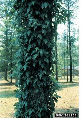 This Could Be A Case Of Several Poison Ivy Plants Growing Up The Same Tree We Cannot Certain By Looking At Photo S